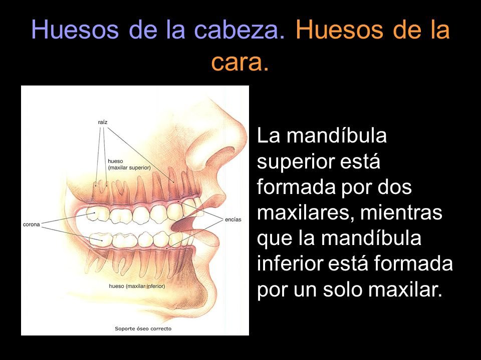 Huesos de la cabeza. Huesos de la cara. La mandíbula superior está formada por dos maxilares, mientras que la mandíbula inferior está formada por un s