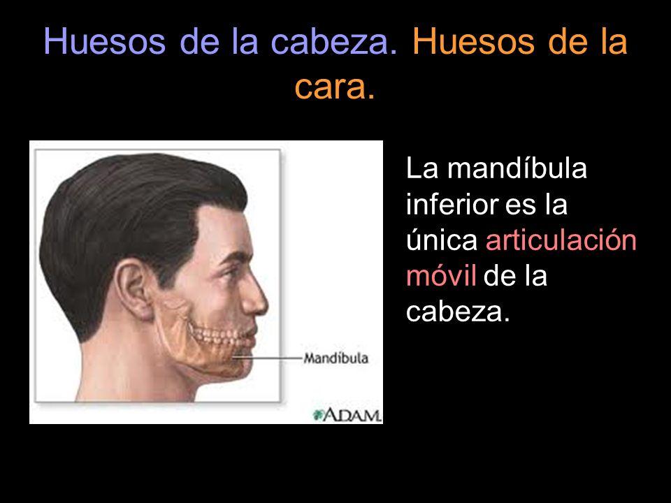 La mandíbula inferior es la única articulación móvil de la cabeza.