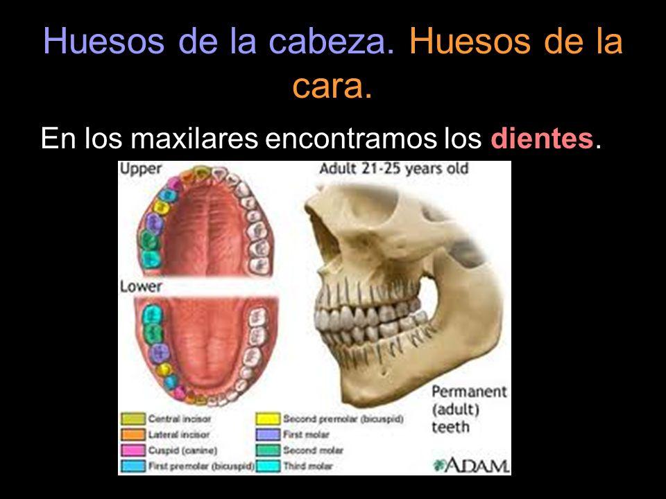 Huesos de la cabeza. Huesos de la cara. En los maxilares encontramos los dientes.