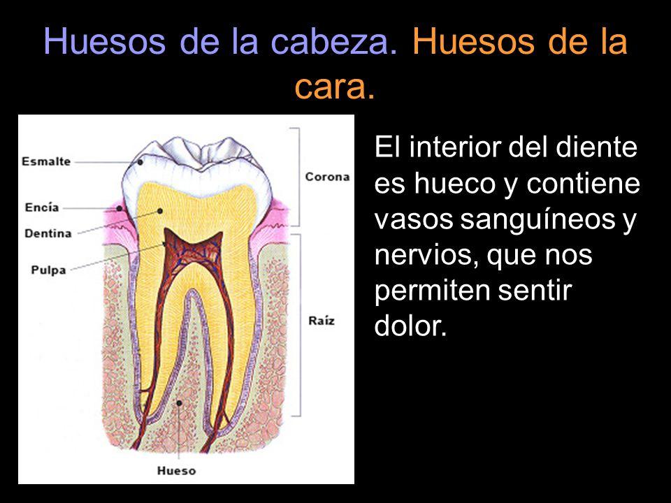 Huesos de la cabeza. Huesos de la cara. El interior del diente es hueco y contiene vasos sanguíneos y nervios, que nos permiten sentir dolor.