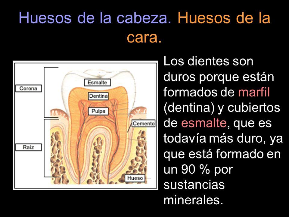 Huesos de la cabeza. Huesos de la cara. Los dientes son duros porque están formados de marfil (dentina) y cubiertos de esmalte, que es todavía más dur