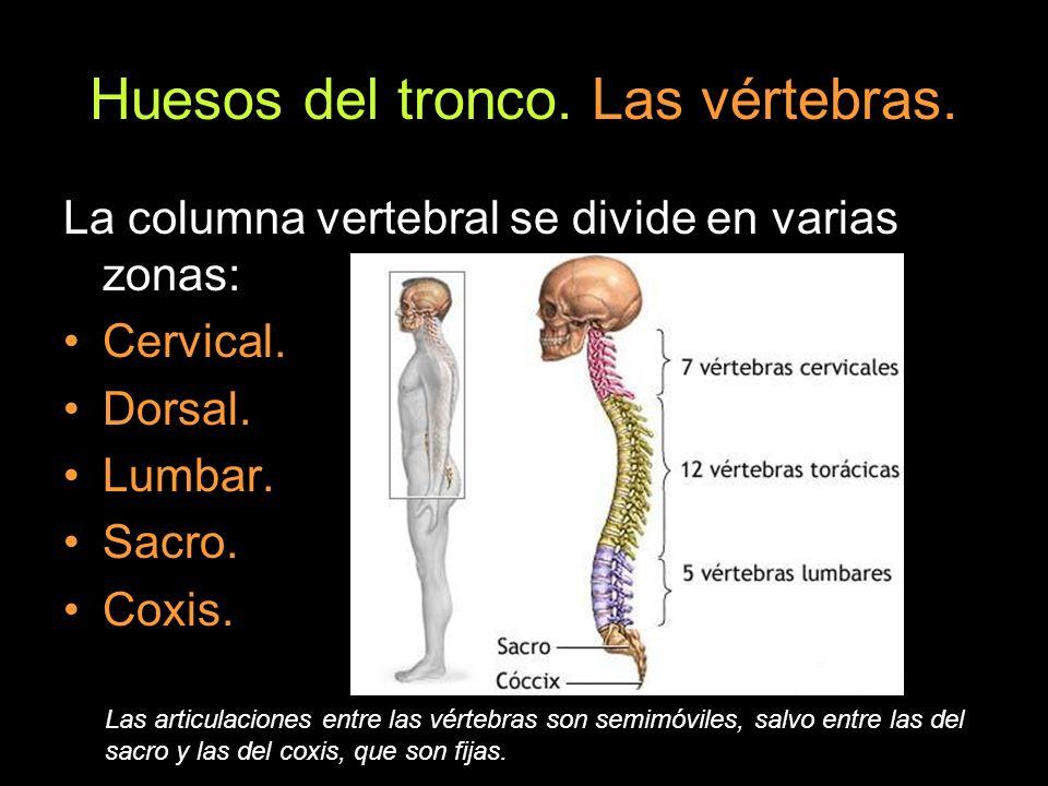 Huesos del tronco. Las vértebras. La columna vertebral se divide en varias zonas: Cervical. Dorsal. Lumbar. Sacro. Coxis. Las articulaciones entre las