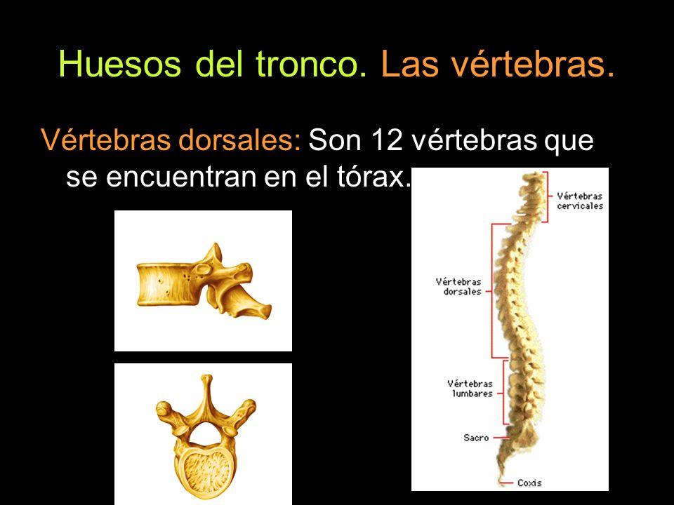Huesos del tronco. Las vértebras. Vértebras dorsales: Son 12 vértebras que se encuentran en el tórax.