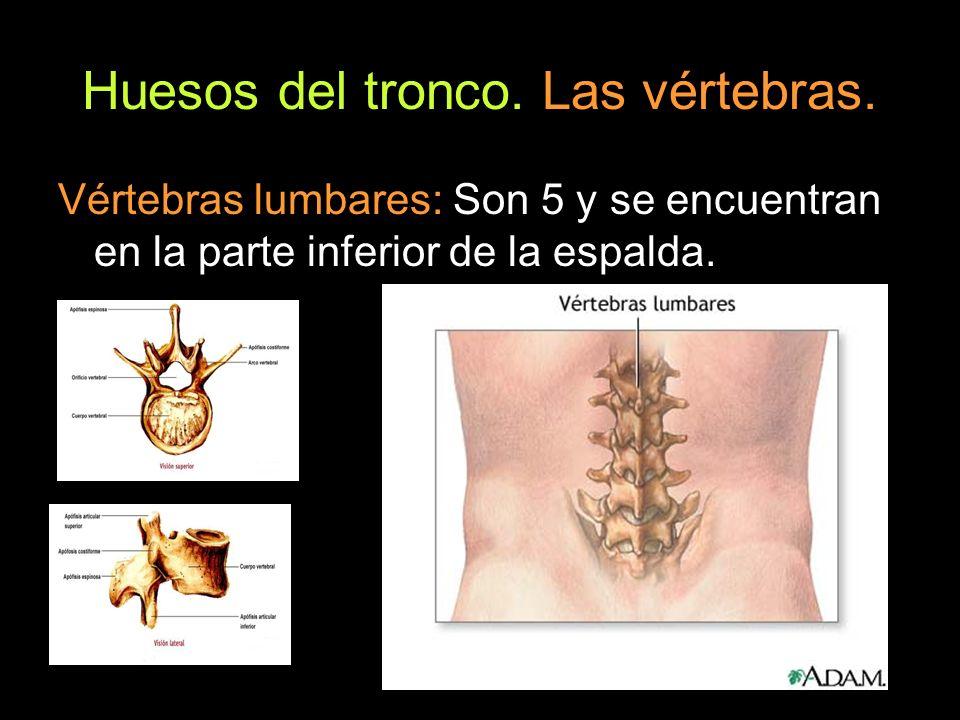Huesos del tronco. Las vértebras. Vértebras lumbares: Son 5 y se encuentran en la parte inferior de la espalda.