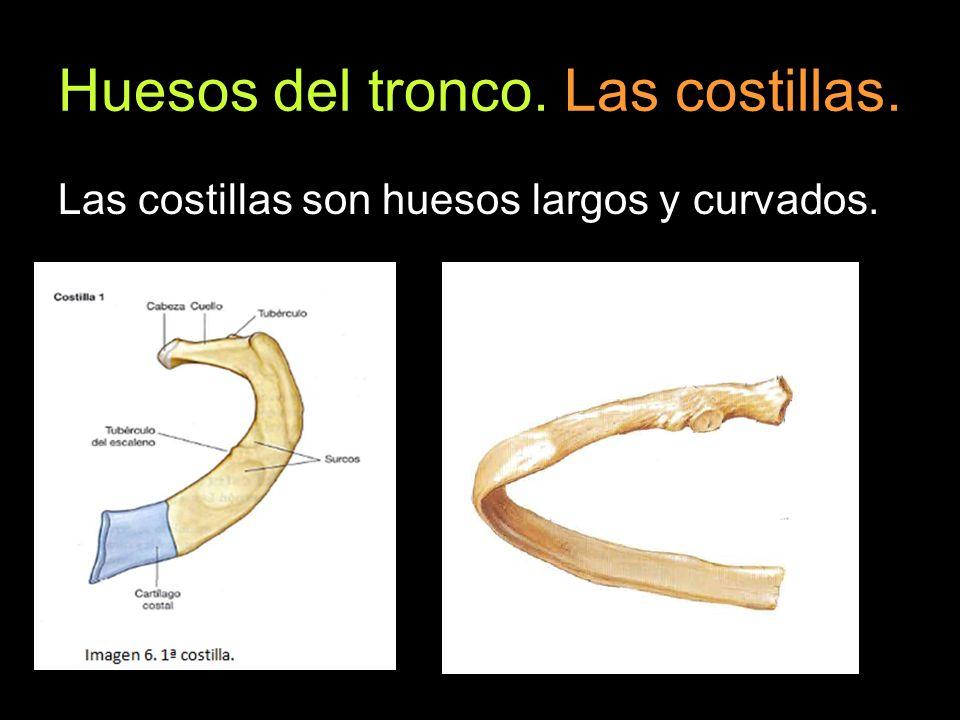 Huesos del tronco. Las costillas. Las costillas son huesos largos y curvados.