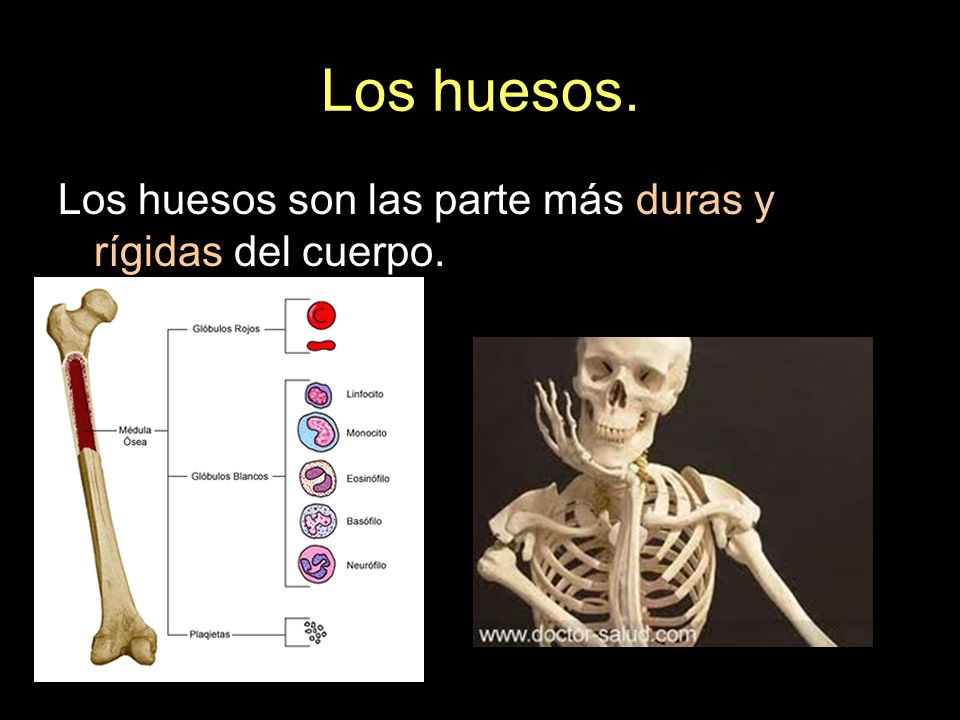 Huesos de la cabeza. El cráneo. Dos parietales: Se sitúan en la parte superior del cráneo.