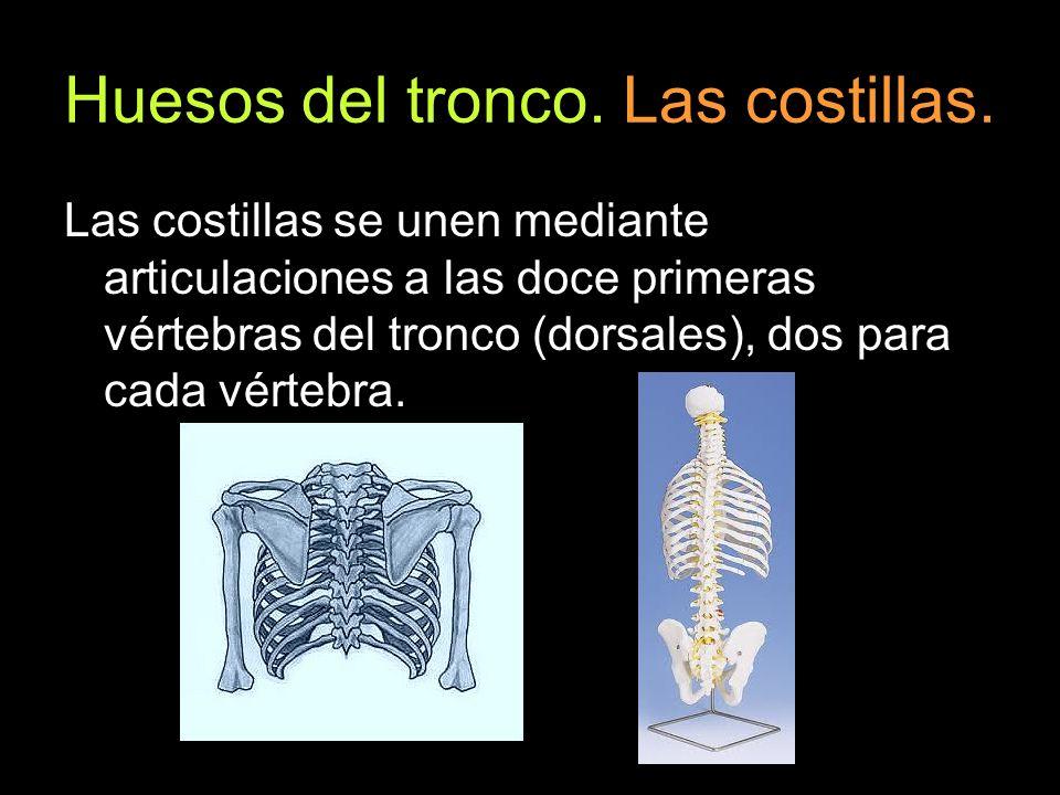 Huesos del tronco. Las costillas. Las costillas se unen mediante articulaciones a las doce primeras vértebras del tronco (dorsales), dos para cada vér