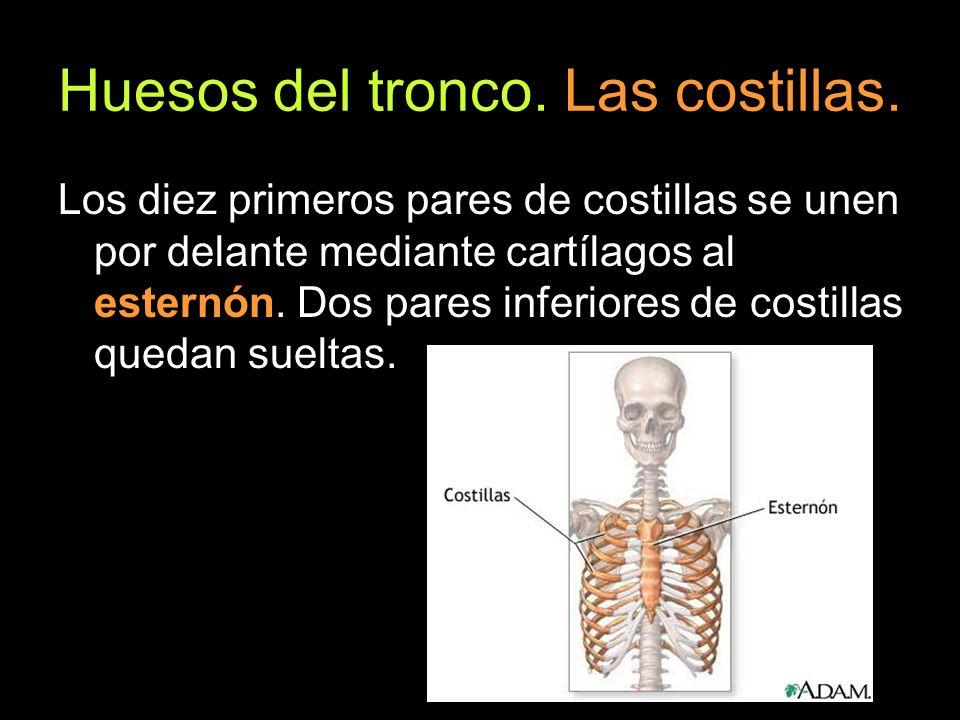 Huesos del tronco. Las costillas. Los diez primeros pares de costillas se unen por delante mediante cartílagos al esternón. Dos pares inferiores de co