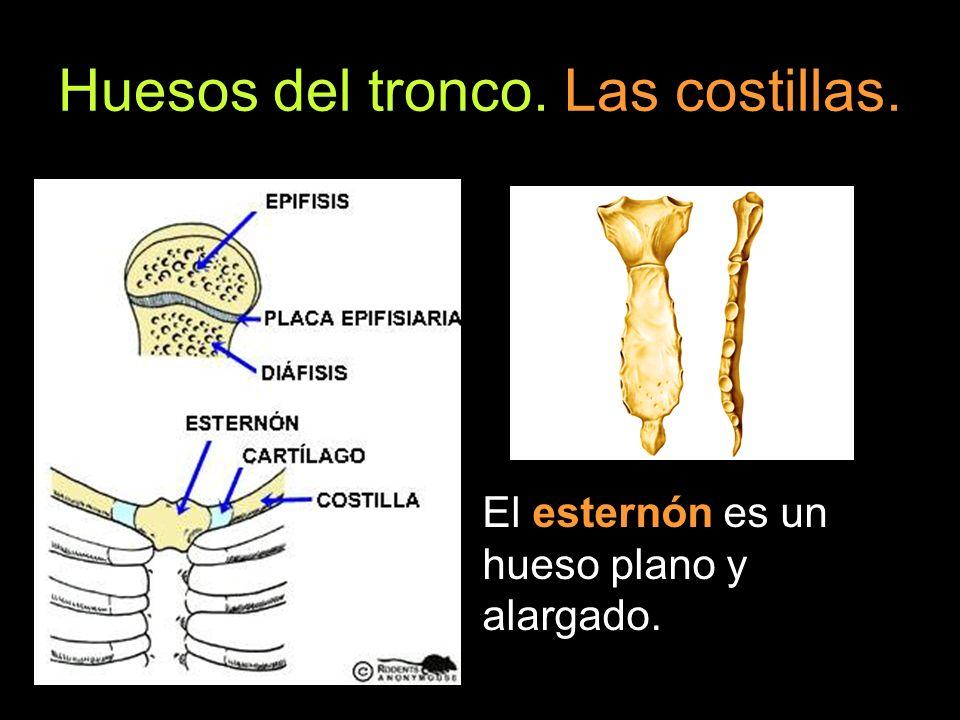 Huesos del tronco. Las costillas. El esternón es un hueso plano y alargado.