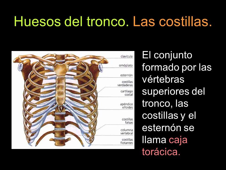 El conjunto formado por las vértebras superiores del tronco, las costillas y el esternón se llama caja torácica.