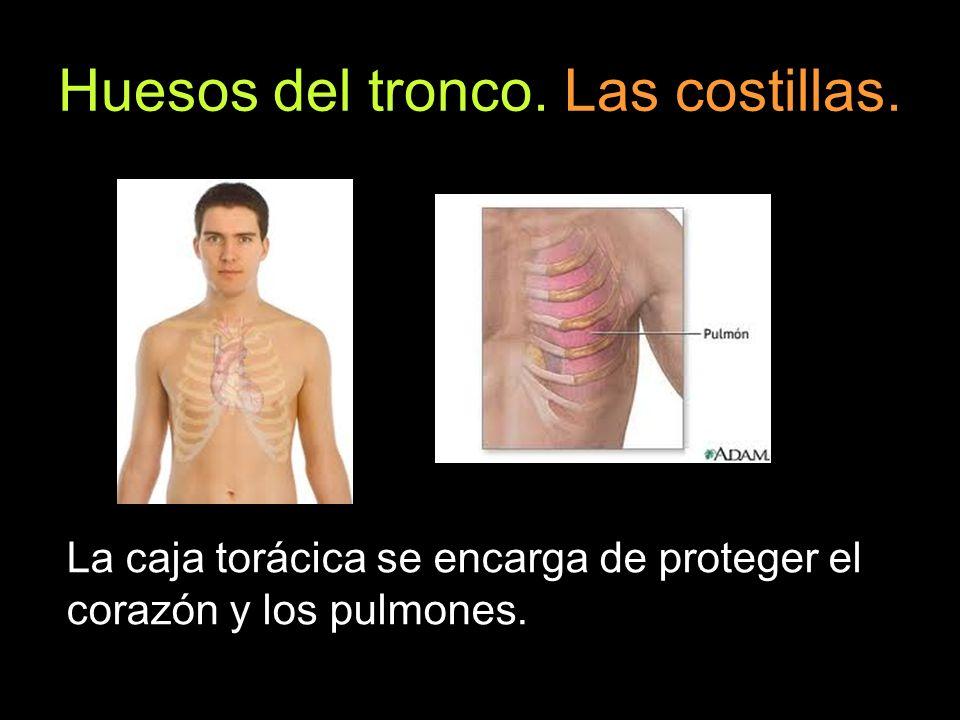 Huesos del tronco. Las costillas. La caja torácica se encarga de proteger el corazón y los pulmones.