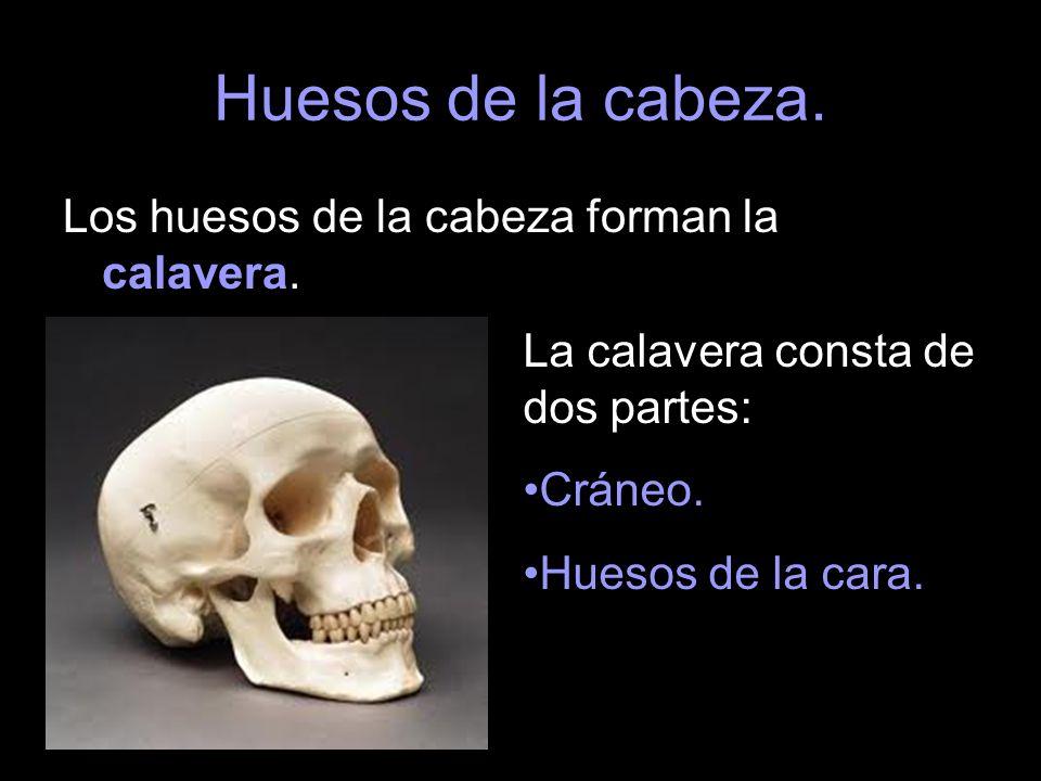 Huesos de la cabeza. Los huesos de la cabeza forman la calavera. La calavera consta de dos partes: Cráneo. Huesos de la cara.