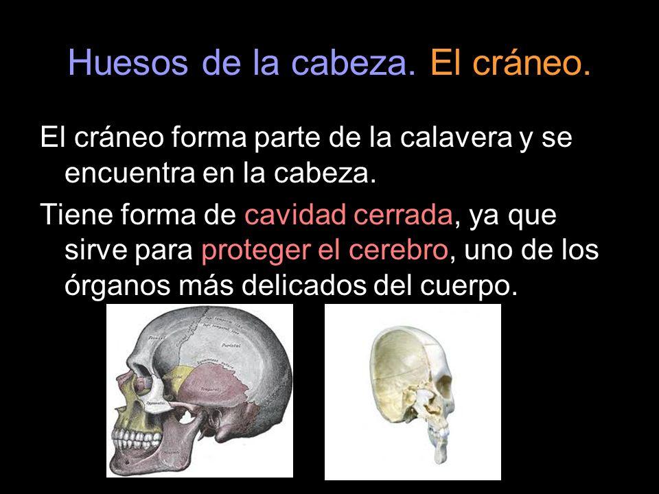 Huesos de la cabeza. El cráneo. El cráneo forma parte de la calavera y se encuentra en la cabeza. Tiene forma de cavidad cerrada, ya que sirve para pr