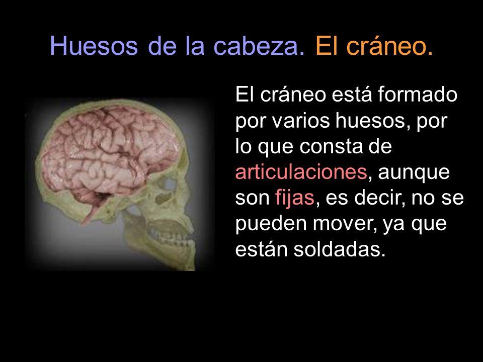 El cráneo está formado por varios huesos, por lo que consta de articulaciones, aunque son fijas, es decir, no se pueden mover, ya que están soldadas.