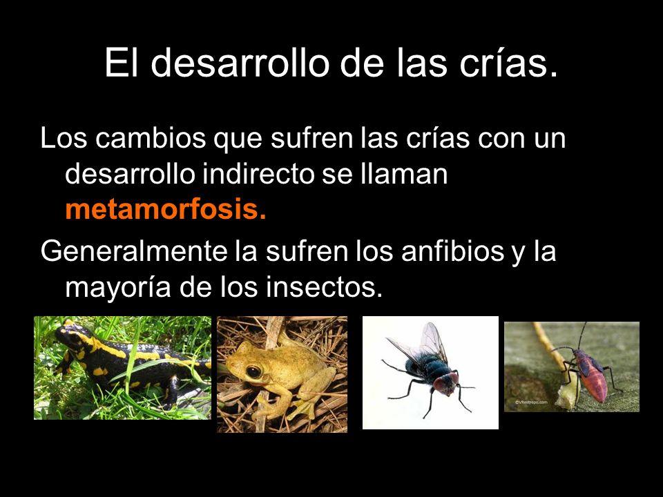 Los cambios que sufren las crías con un desarrollo indirecto se llaman metamorfosis. Generalmente la sufren los anfibios y la mayoría de los insectos.