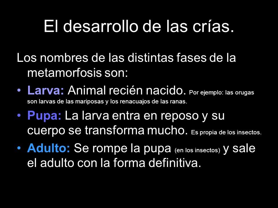 El desarrollo de las crías. Los nombres de las distintas fases de la metamorfosis son: Larva: Animal recién nacido. Por ejemplo: las orugas son larvas