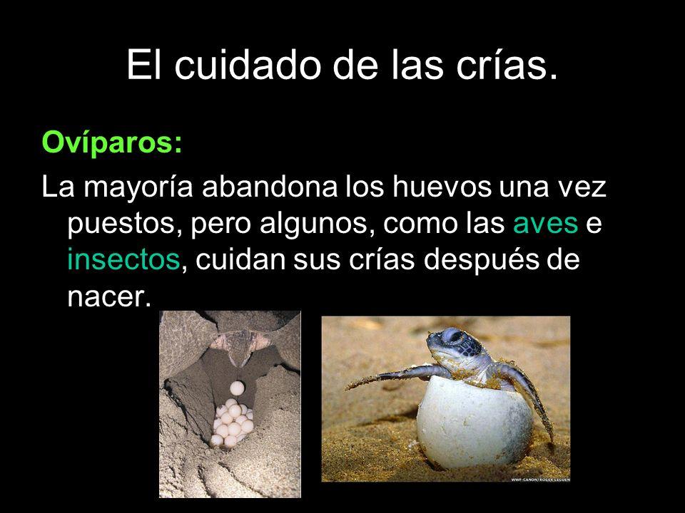 El cuidado de las crías. Ovíparos: La mayoría abandona los huevos una vez puestos, pero algunos, como las aves e insectos, cuidan sus crías después de