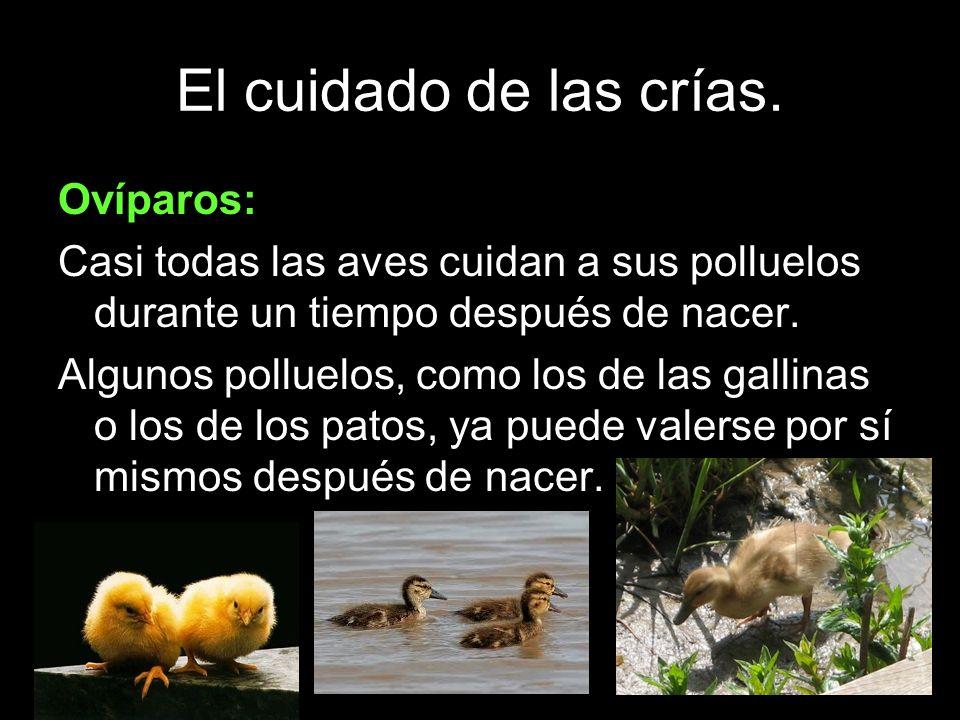 El cuidado de las crías. Ovíparos: Casi todas las aves cuidan a sus polluelos durante un tiempo después de nacer. Algunos polluelos, como los de las g