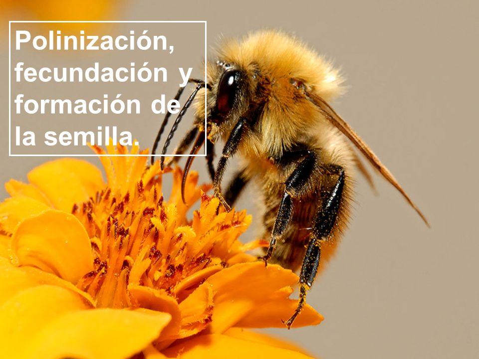 Polinización, fecundación y formación de la semilla.
