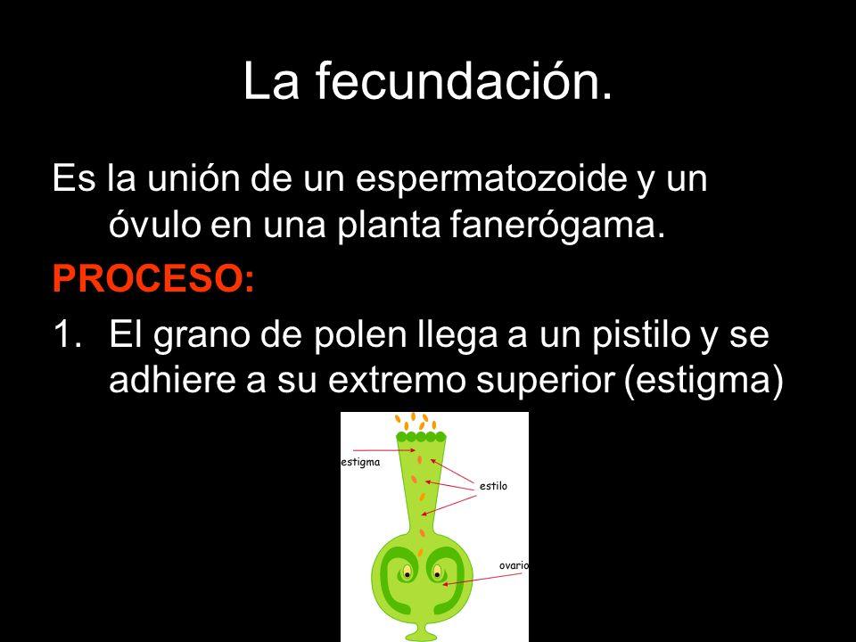La fecundación. Es la unión de un espermatozoide y un óvulo en una planta fanerógama. PROCESO: 1.El grano de polen llega a un pistilo y se adhiere a s