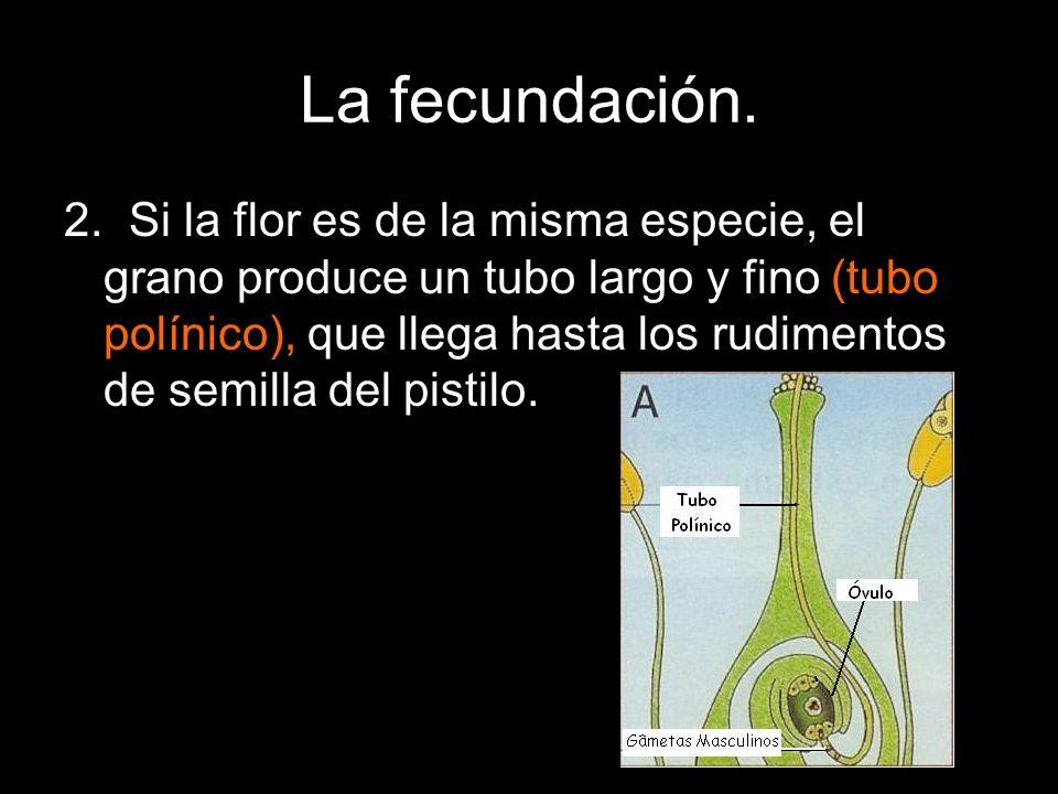 La fecundación. 2. Si la flor es de la misma especie, el grano produce un tubo largo y fino (tubo polínico), que llega hasta los rudimentos de semilla