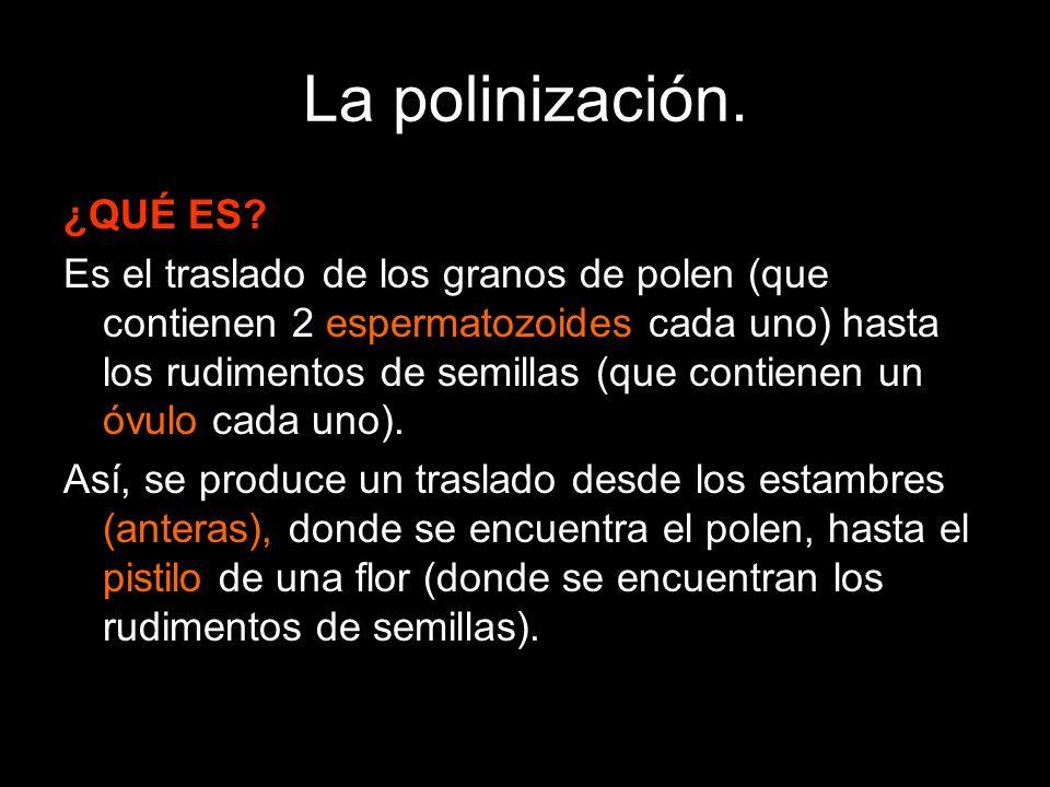 La polinización. ¿QUÉ ES? Es el traslado de los granos de polen (que contienen 2 espermatozoides cada uno) hasta los rudimentos de semillas (que conti