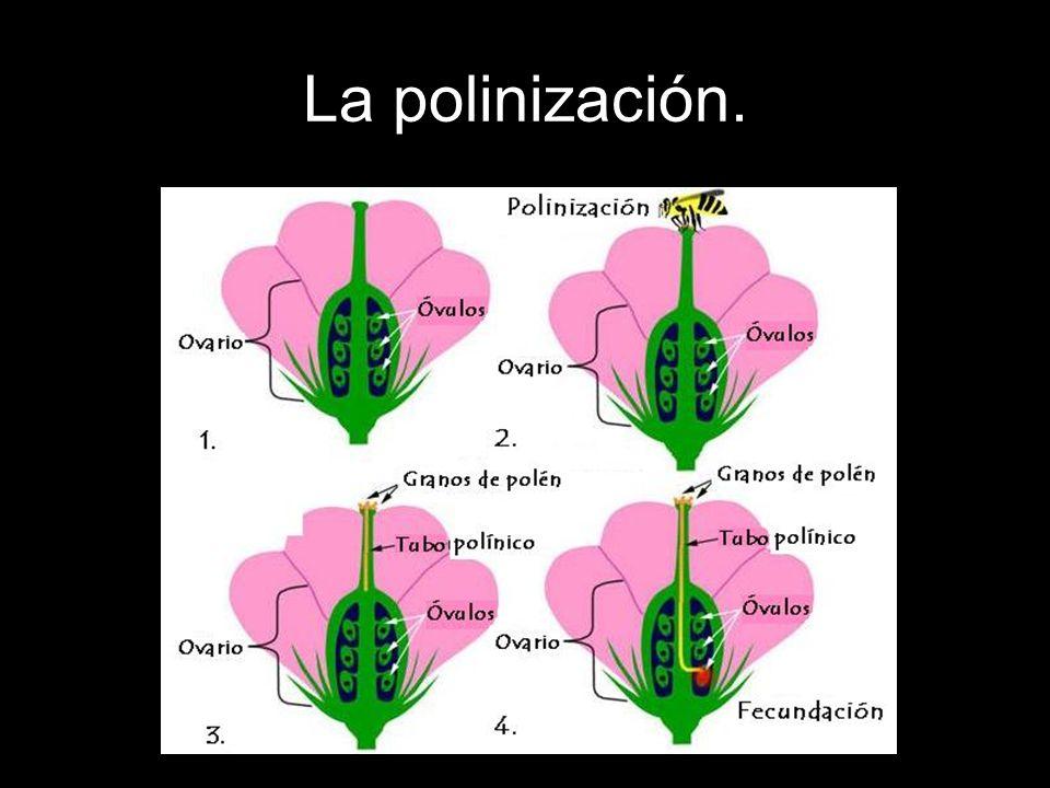 La fecundación.Es la unión de un espermatozoide y un óvulo en una planta fanerógama.