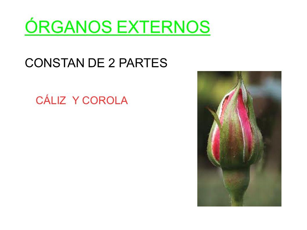 ÓRGANOS EXTERNOS CONSTAN DE 2 PARTES CÁLIZ Y COROLA