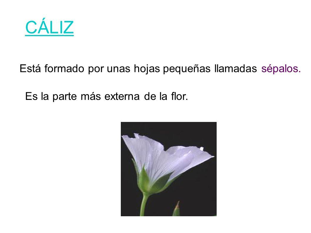 CÁLIZ Está formado por unas hojas pequeñas llamadas sépalos. Es la parte más externa de la flor.