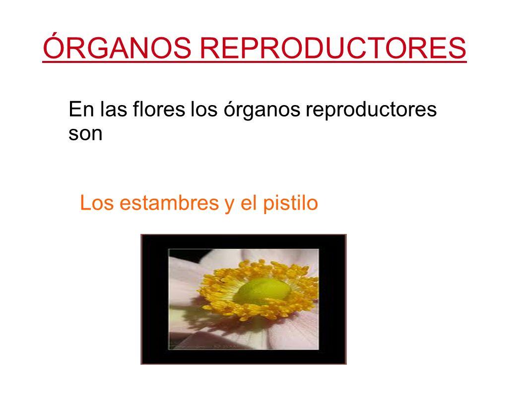 ÓRGANOS REPRODUCTORES En las flores los órganos reproductores son Los estambres y el pistilo