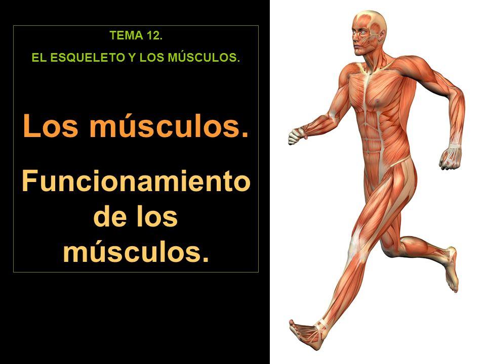 TEMA 12. EL ESQUELETO Y LOS MÚSCULOS. Los músculos. Funcionamiento de los músculos.