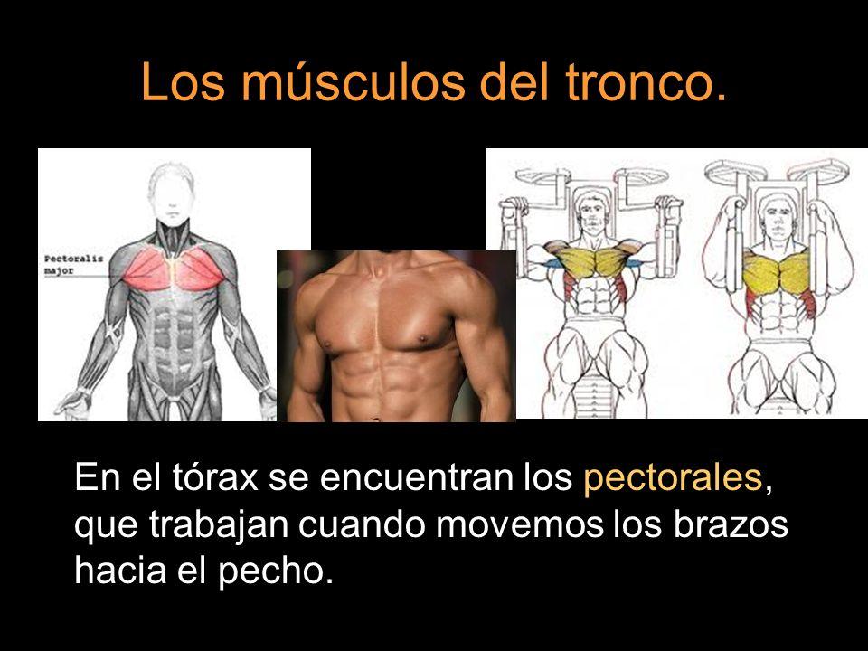 En el tórax se encuentran los pectorales, que trabajan cuando movemos los brazos hacia el pecho.