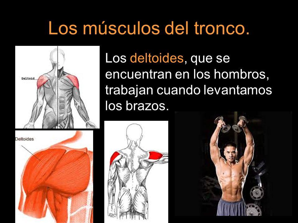 Los músculos del tronco. Los deltoides, que se encuentran en los hombros, trabajan cuando levantamos los brazos.