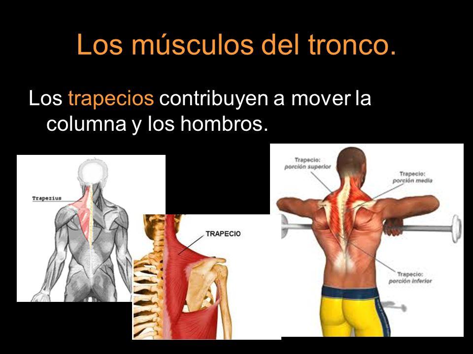 Los músculos del tronco. Los trapecios contribuyen a mover la columna y los hombros.