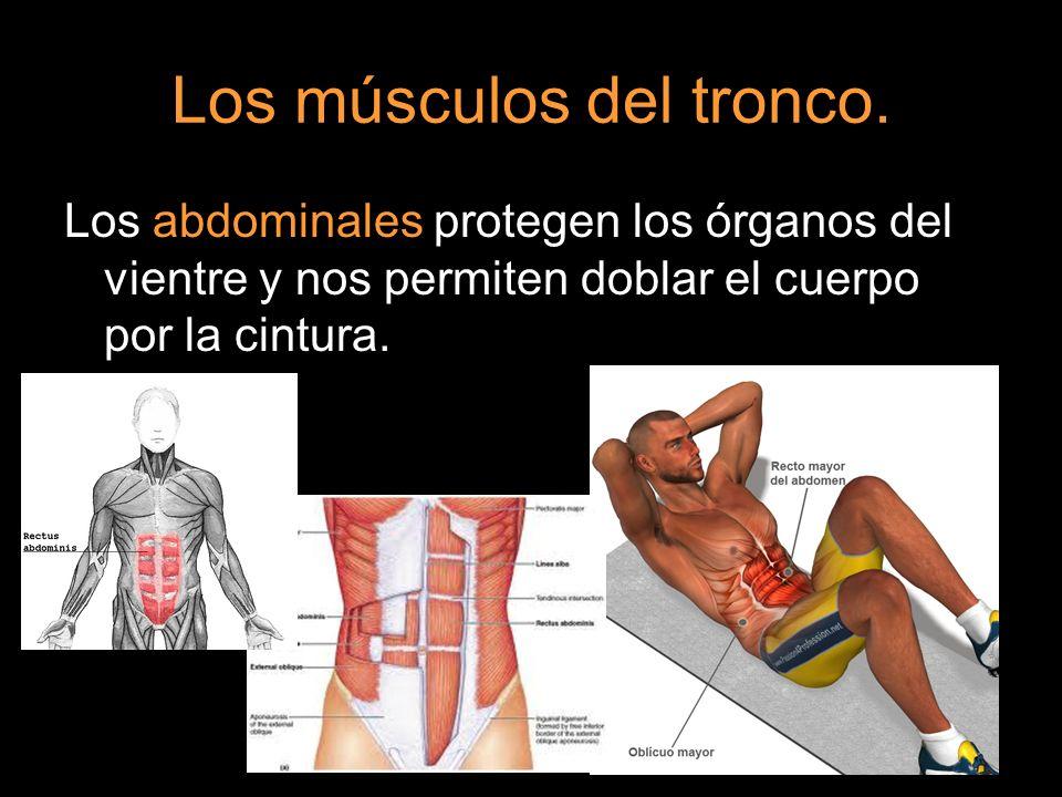 Los músculos del tronco. Los abdominales protegen los órganos del vientre y nos permiten doblar el cuerpo por la cintura.