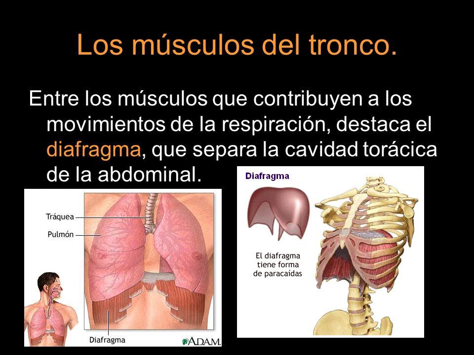 Los músculos del tronco. Entre los músculos que contribuyen a los movimientos de la respiración, destaca el diafragma, que separa la cavidad torácica
