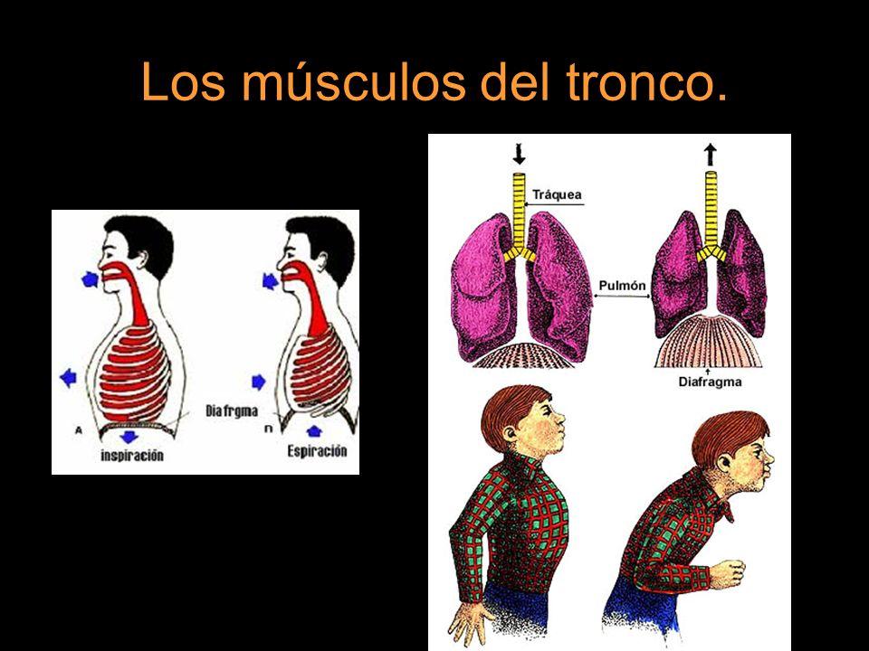Los glúteos se encuentran en la parte inferior del tronco y sirven para mover los muslos y el fémur hacia atrás.