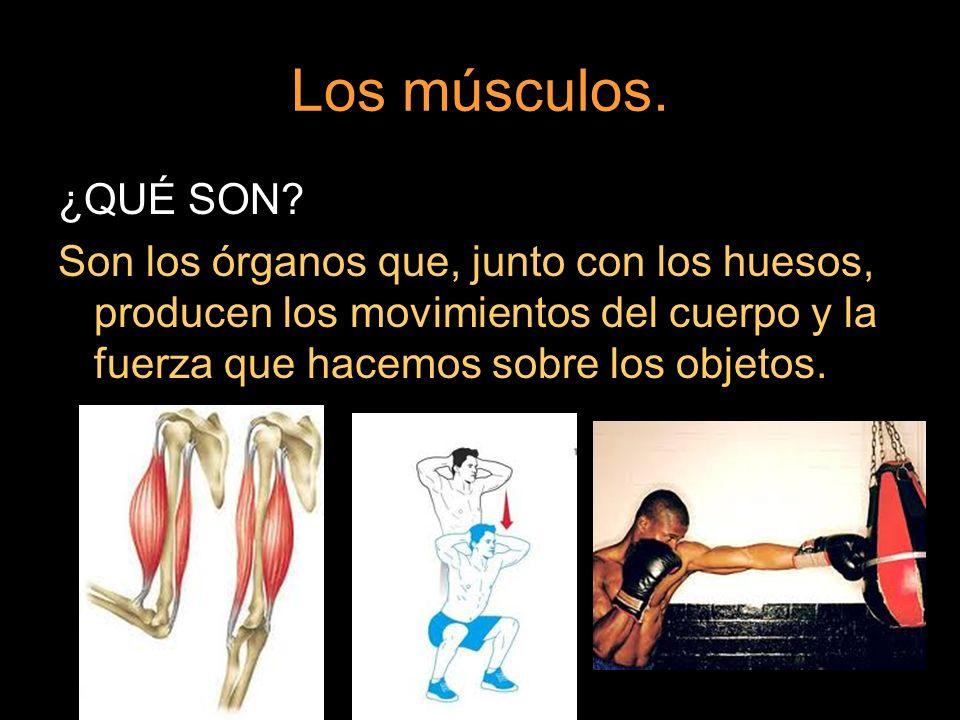 Los músculos. ¿QUÉ SON? Son los órganos que, junto con los huesos, producen los movimientos del cuerpo y la fuerza que hacemos sobre los objetos.