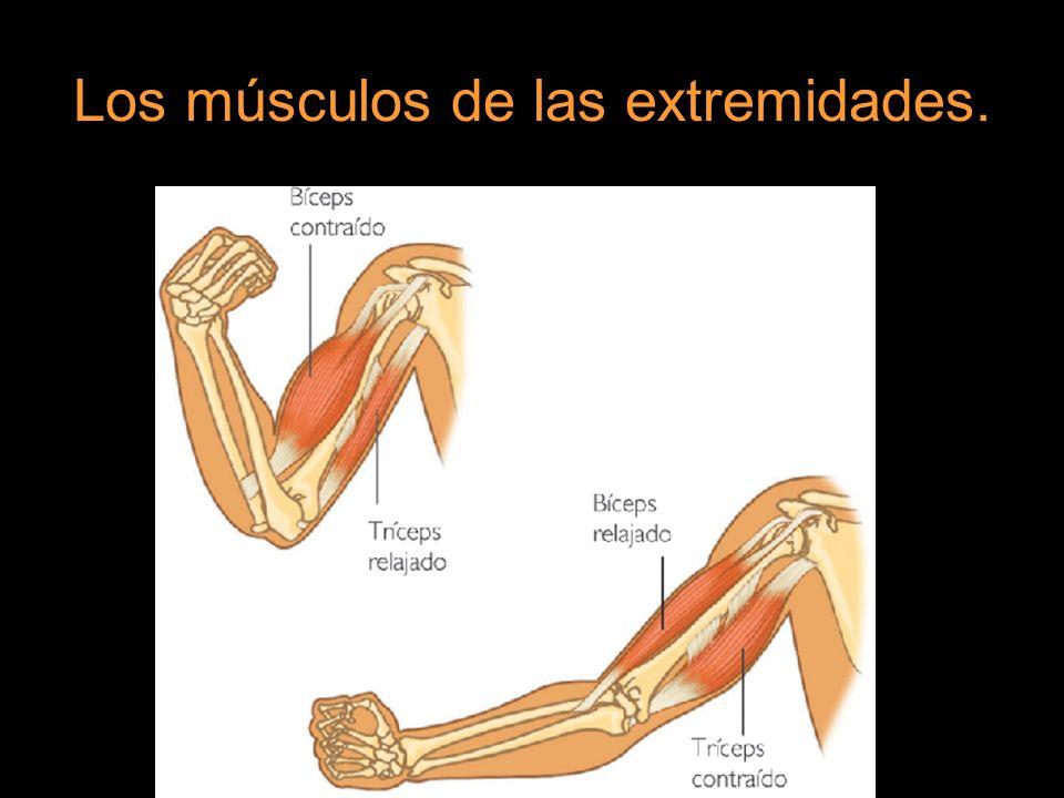 En las extremidades inferiores, los principales músculos que mueven la pierna son el bíceps femoral, que la flexiona, y el cuádriceps, que la extiende.