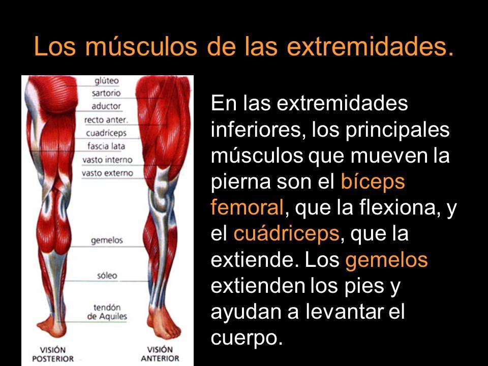 En las extremidades inferiores, los principales músculos que mueven la pierna son el bíceps femoral, que la flexiona, y el cuádriceps, que la extiende