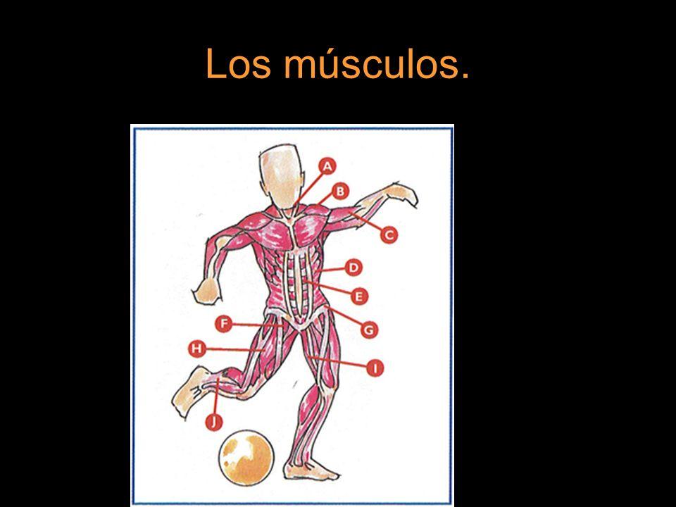 Cómo funciona un músculo. La misión de un músculo es: Producir movimiento. Producir fuerza.