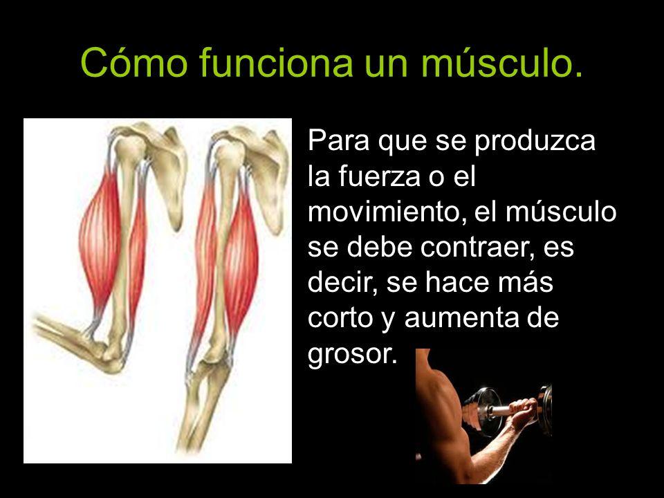Cómo funciona un músculo. Para que se produzca la fuerza o el movimiento, el músculo se debe contraer, es decir, se hace más corto y aumenta de grosor