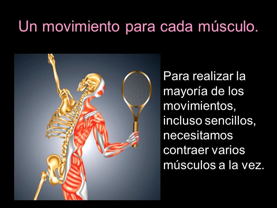 Un movimiento para cada músculo. Para realizar la mayoría de los movimientos, incluso sencillos, necesitamos contraer varios músculos a la vez.