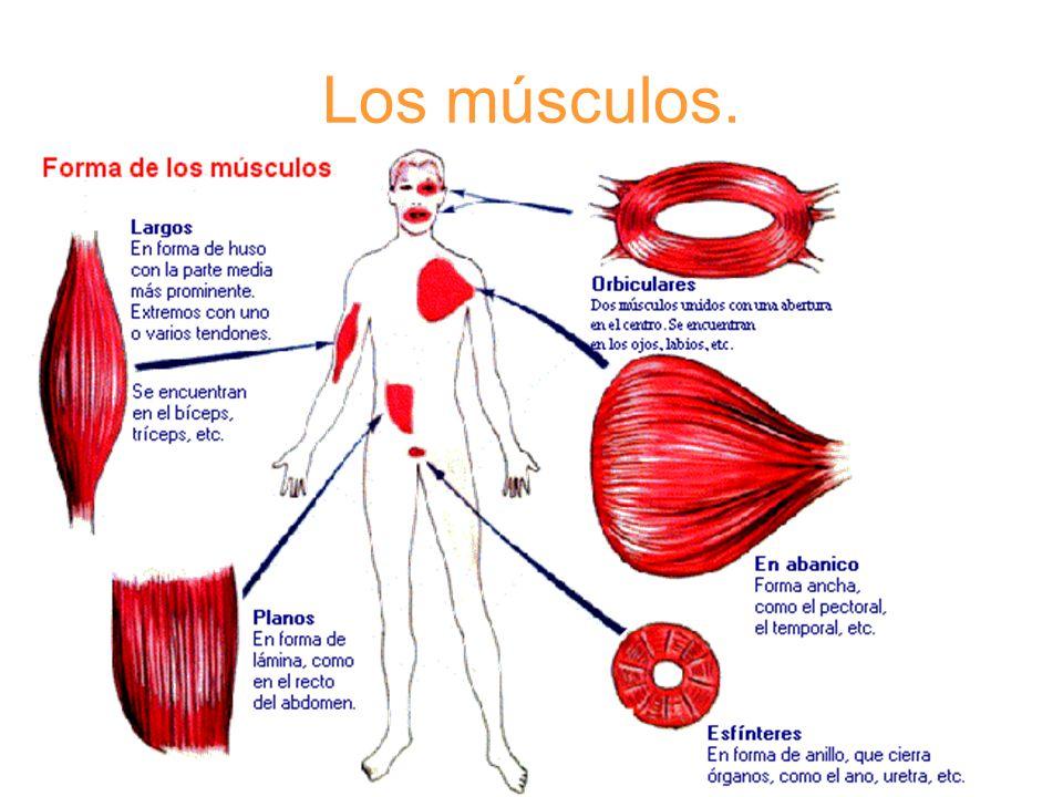 La mayoría terminan en unos cordones muy resistentes, los tendones, que se unen a los huesos.