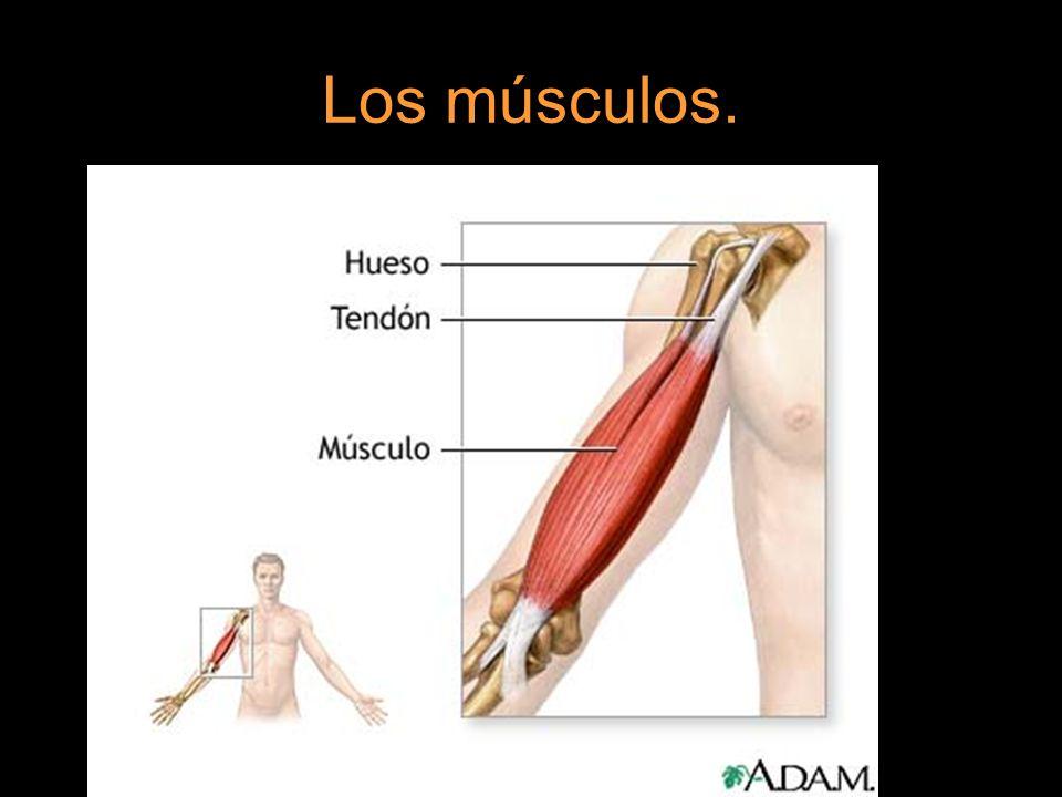 Los músculos.