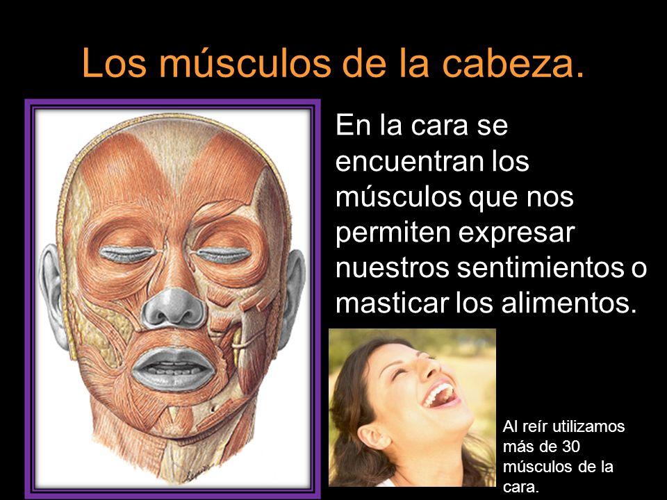 Los músculos de la cabeza. En la cara se encuentran los músculos que nos permiten expresar nuestros sentimientos o masticar los alimentos. Al reír uti