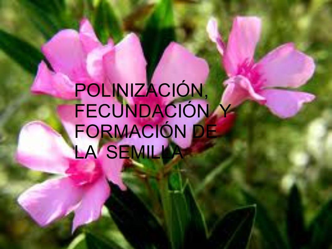 POLINIZACIÓN En el pólen están los espermatozoides, que deben viajar hasta las estambres, para fecundar al óvulo.