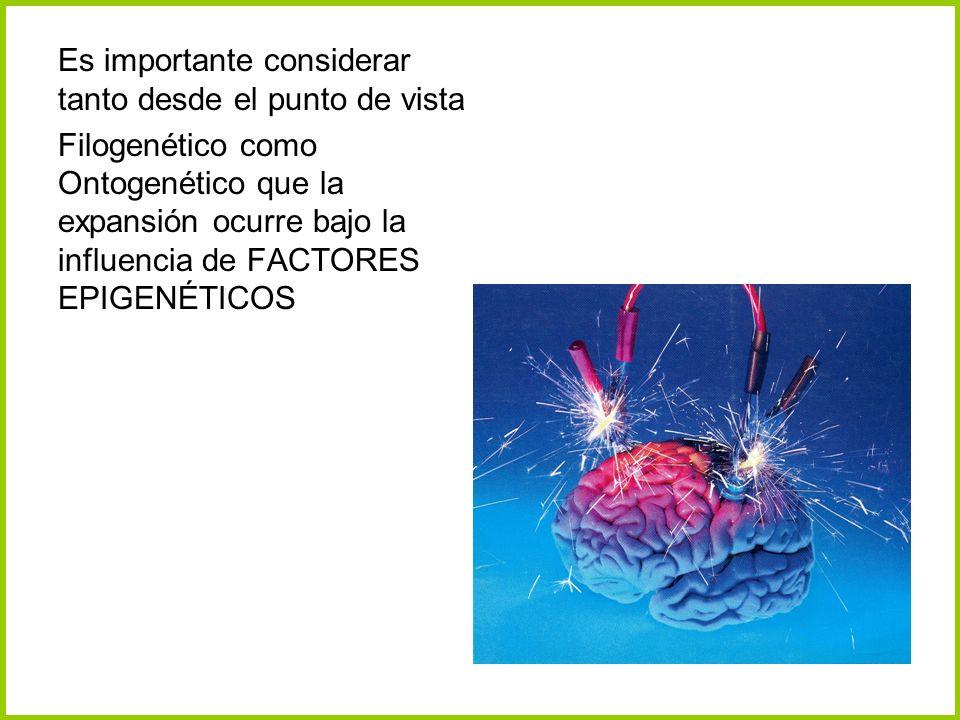 Es importante considerar tanto desde el punto de vista Filogenético como Ontogenético que la expansión ocurre bajo la influencia de FACTORES EPIGENÉTI