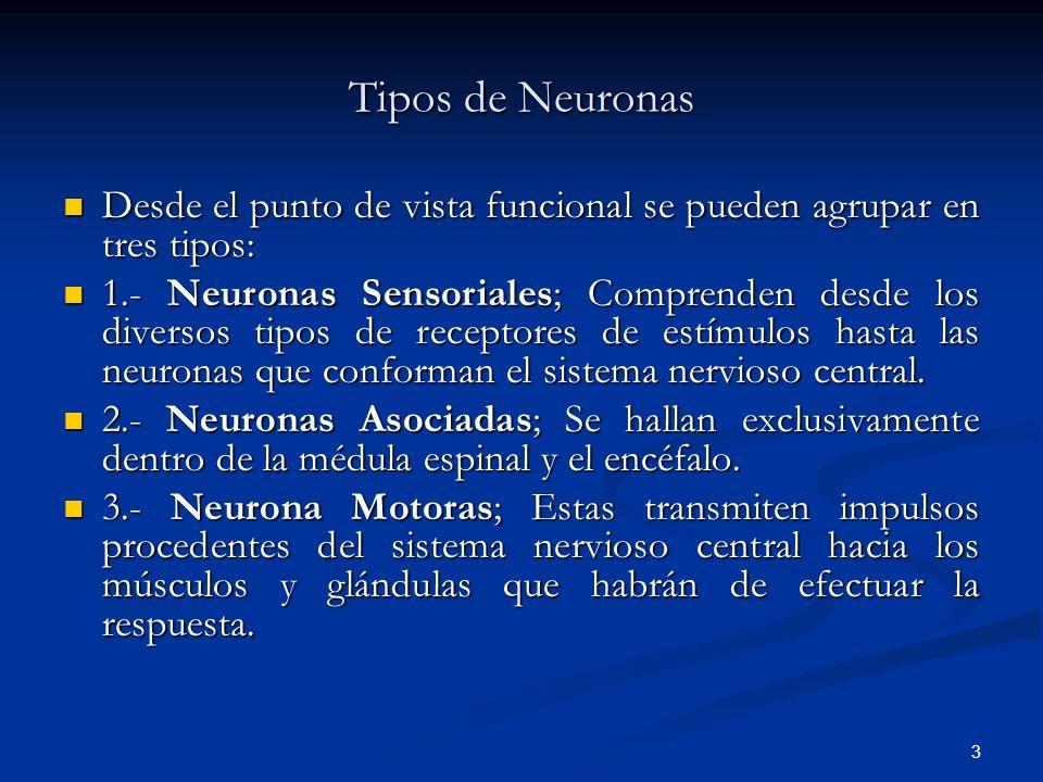 3 Tipos de Neuronas Desde el punto de vista funcional se pueden agrupar en tres tipos: Desde el punto de vista funcional se pueden agrupar en tres tip