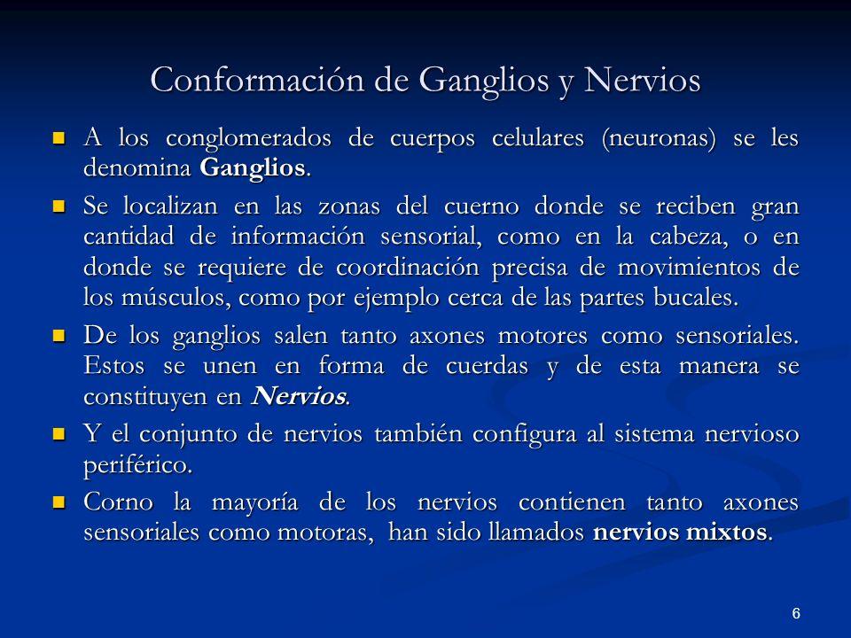 6 Conformación de Ganglios y Nervios A los conglomerados de cuerpos celulares (neuronas) se les denomina Ganglios. A los conglomerados de cuerpos celu